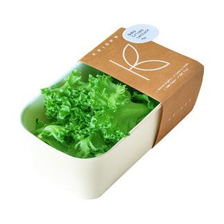 Fresh Baby Crispy Lettuce available online at Vegberry in Dubai, UAE