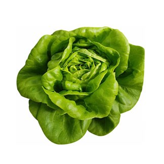 Fresh Butterhead Green Lettuce available online at Vegberry in Dubai, UAE